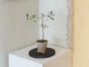 おりーぶ盆栽